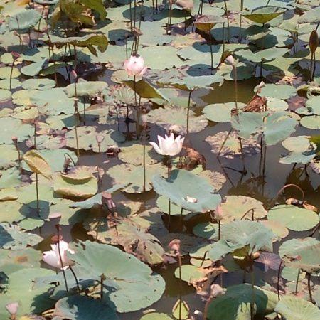 蓮池潭蓮の花